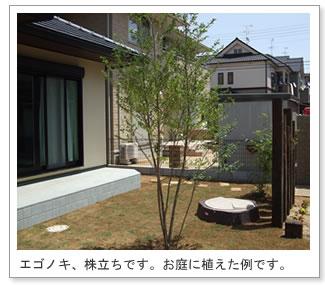 エゴノキの画像 p1_23