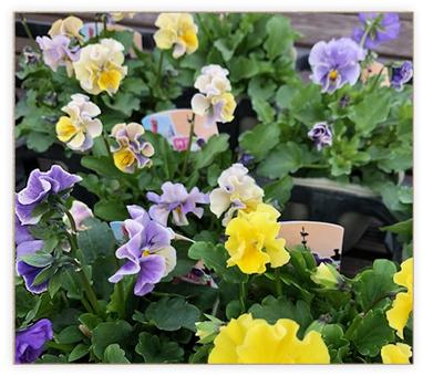 花色だけでなく花形も種類が豊富なパンジー・ビオラ。