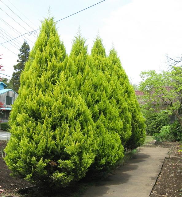 大きく育つ植物に分類されるコニファー。