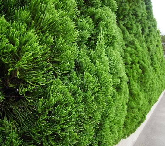 【エメラルドグリーン】は、耐寒性、耐暑性に優れています。