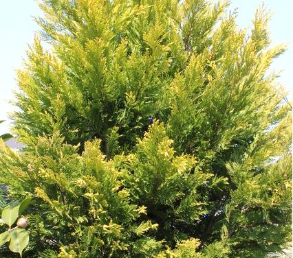 黄金色の【ゴールドライダー】は、丈夫で耐潮性に優れた品種です。