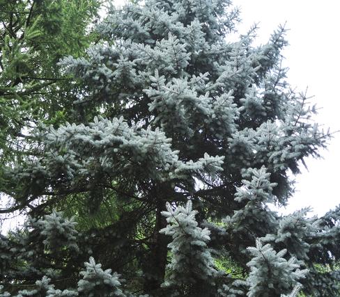 銀白色の葉色が特徴の【プンゲンストウヒ】は、シンボルツリーとして人気。