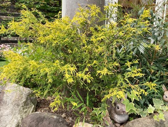 【フィリフェアオーレア】は、低めに剪定すると黄色の葉が華やかなグランドカバーに。