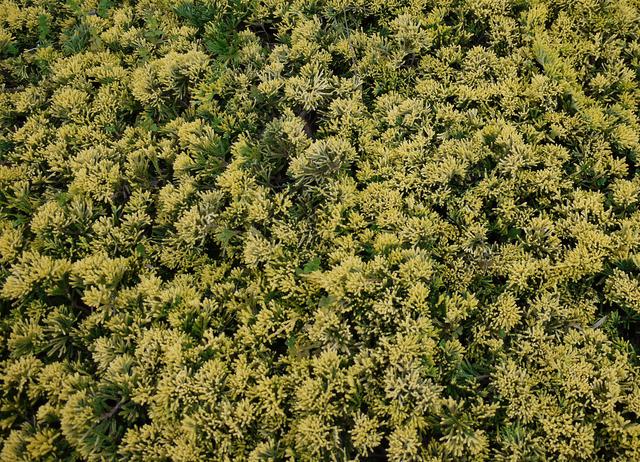 【マザーローデ】は、新芽の淡黄色から緑色まで葉色の変化が楽しめます。
