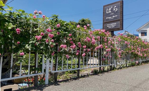 ローズ・テラスのフェンス沿いでたくさんの花を咲かせる【ポールノエル】。