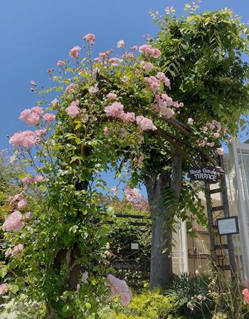 アーチを縁取る【ニュードーン】。期待以上にたくさんの花を咲かせました。