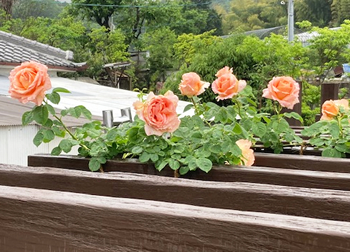 一年で屋根まで茎を伸ばして、花を咲かせた【ポルカ】。