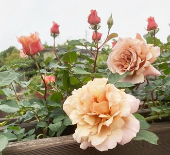 大輪の【ジュリア】は、今年一番の人気者。大きく優美な花を咲かせました。