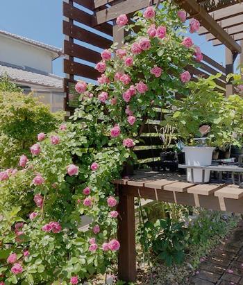 ローズ・カウンターの入り口で、華やかに咲き誇った【レオナルドダヴィンチ】。