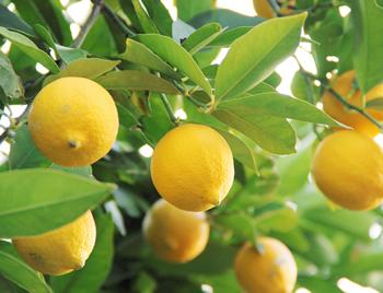 今回は、お家産レモンの育て方をご紹介します。
