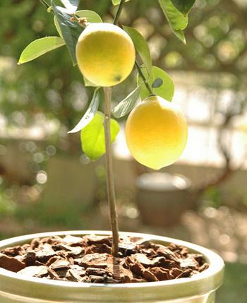 レモンは鉢植えでも、たくさんの果実を収穫できます。