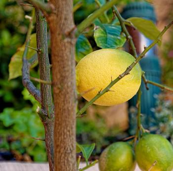 レモンにはするどいトゲがあります。